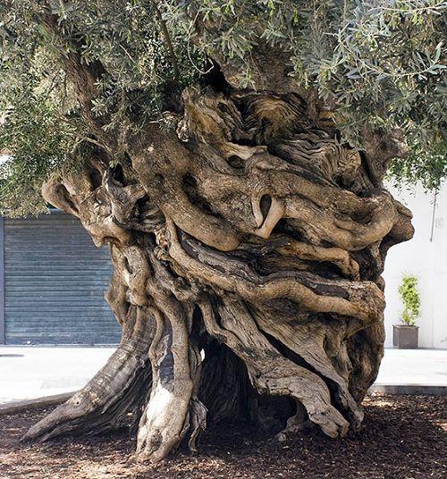 olive palma